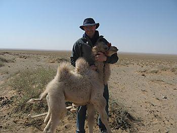 Mongolia-camel
