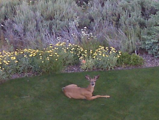 winthrop-deer