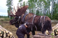 Working moose